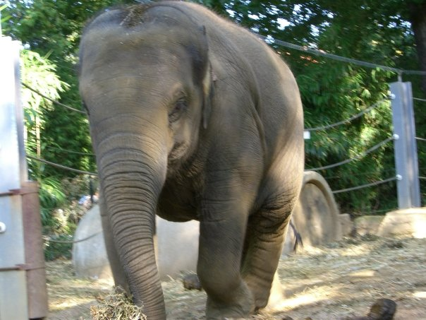 Female Asian elephant May Tagu at Planckendael Zoo