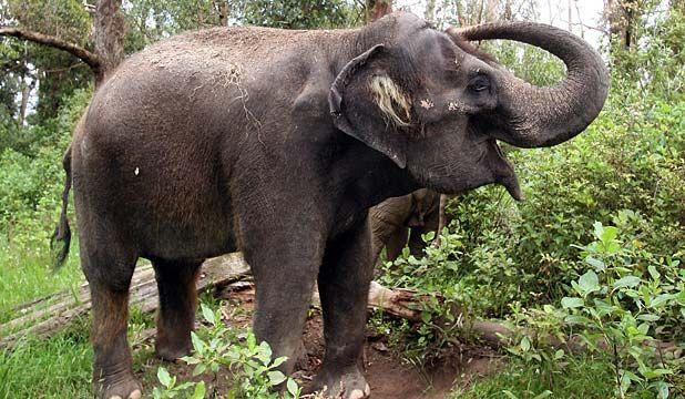 KASHIN THE ELEPHANT: