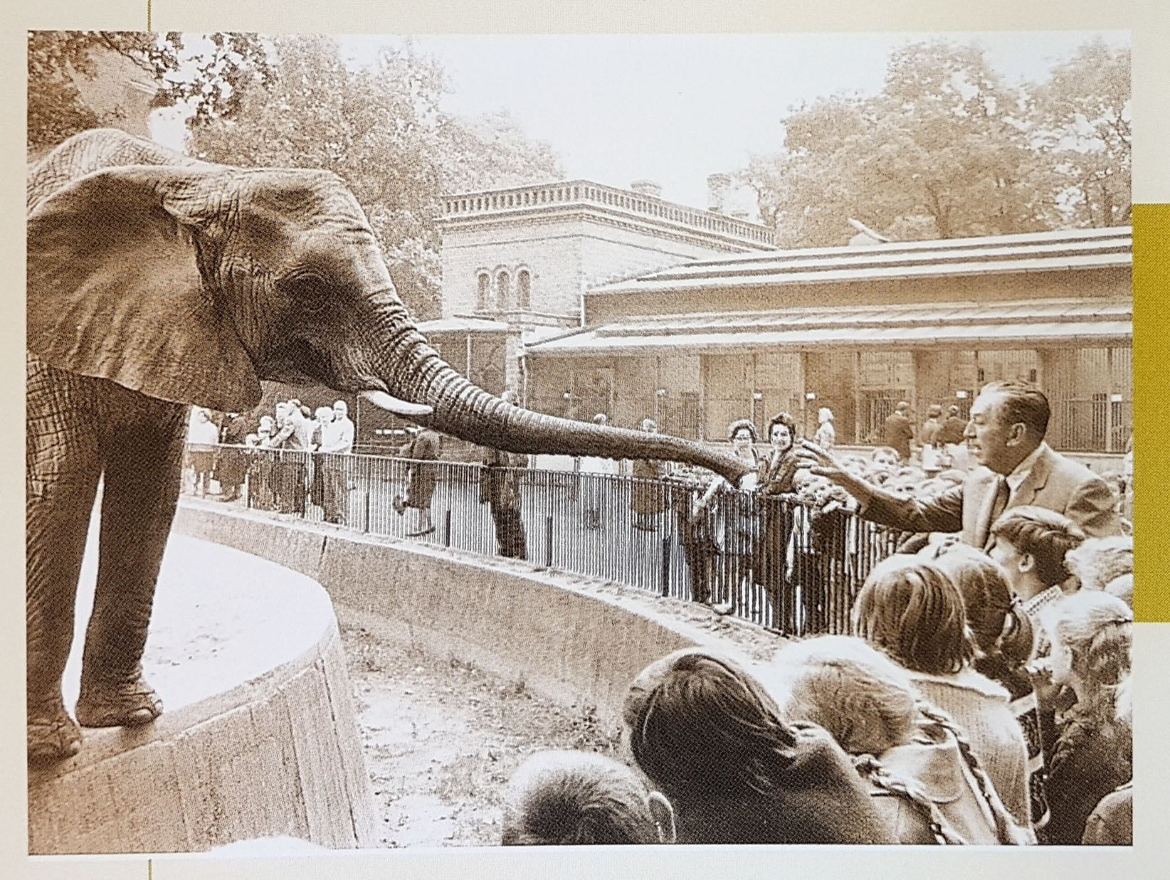 African cow, Mondula,  with Walt Disney at Berlin Zoo. 1960