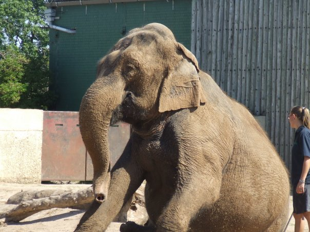 Female ♀ Asian elephant (Elephas maximus) Indra at Blackpool Zoo