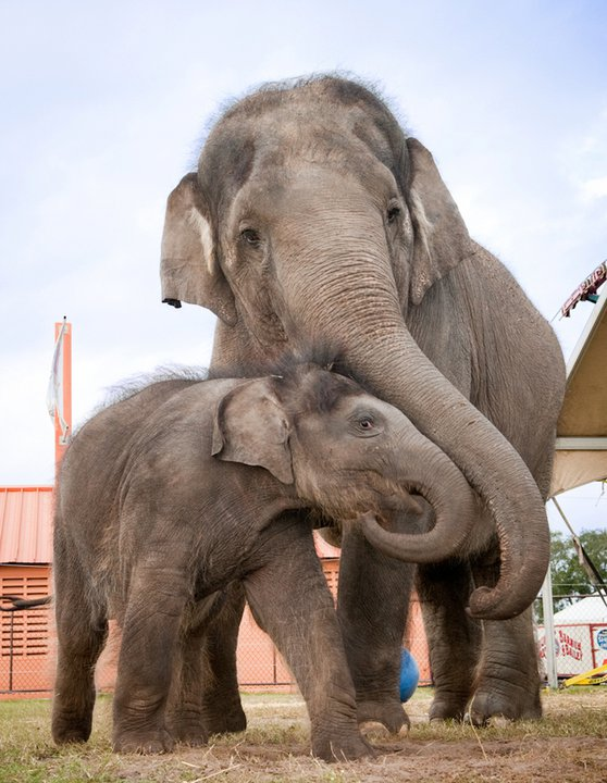 Female ♀ Asian elephant (Elephas maximus) Bonnie at Ringling Brothers Barnum and Bailey Center for Elephant Conservation