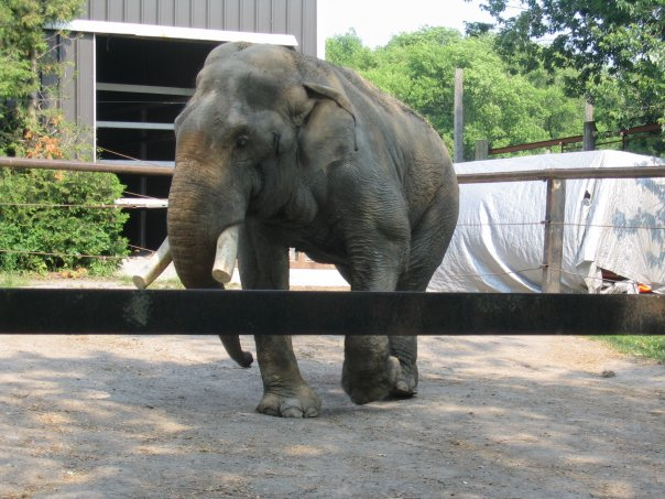 Male Asian elephant Vance (Doc) at Bowmanville Zoo