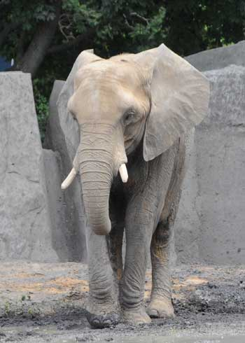 Alone: Joyce, the African elephant currently on loan from Six Flags Discovery Kingdom in Vallejo, Calif., will remain off exhibit until spring. Zoo officials are trying to find Joyce a companion at this time.