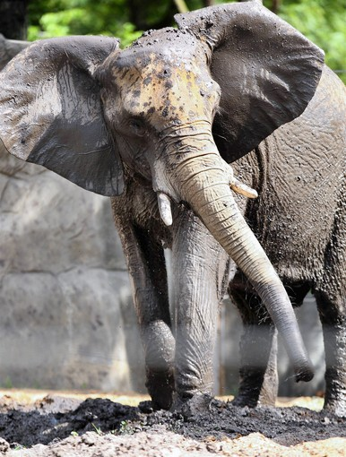 Joyce, a 26-year-old African elephant, arrived at Brookfield Zoo enjoys the new wading pool and mud wallow hole in the zoo