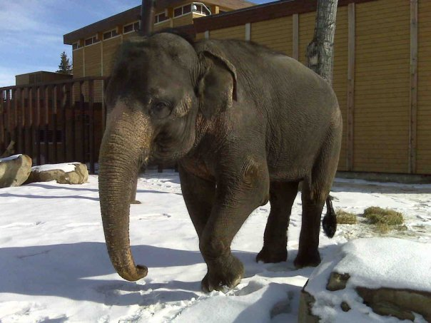 Rani. Calgary Zoo 03/2009. Photo: © Brent Van Hooft