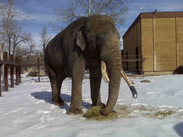 Male ♂ Asian elephant (<em>Elephas maximus</em>) Spike (Ganesha) at Smithsonian National Zoological Park