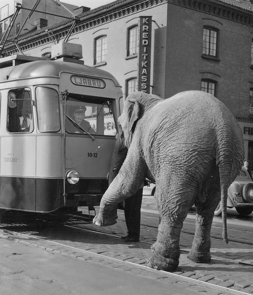The Indian elephant Letzie from Cirkus Berny. No 11, 1954. Photo Arne Køpke.