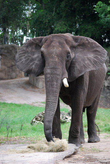 Willy, a 13,000-pound African bull elephant, will soon be the monarch of the Cleveland Metroparks Zoo