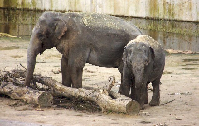 Female ♀ Asian elephant (Elephas maximus) Shu Thu Zar at Cologne Zoo (Zoo Köln)