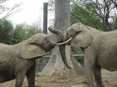 Cleveland elephants Moshi and Martika pal around at the Columbus Zoo, their home for the next year and a half.