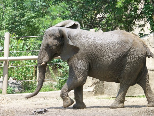 Female African Bush elephant Jo (Juanita) at Cleveland Metroparks Zoo