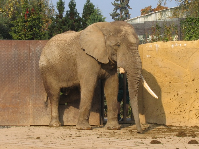 Male African Bush elephant Mooti at Dvur Kralove Zoo