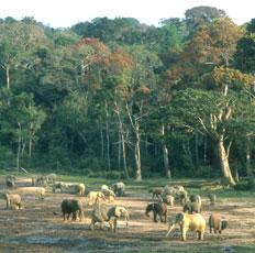 Forest elephants at at Dzanga Bai in the National park Dzanga-Ndoki in the republic of Central africa