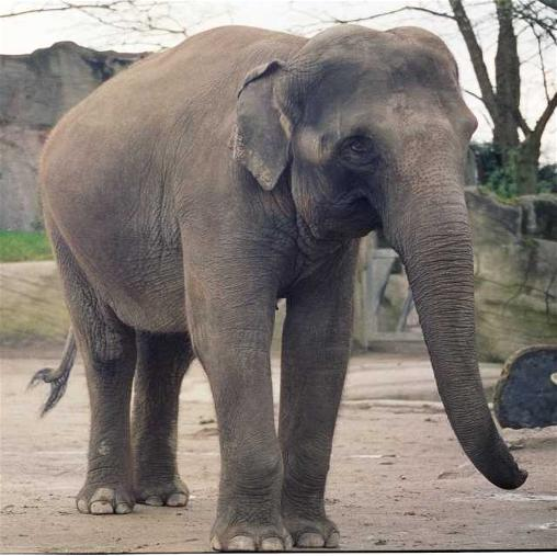 Female Asian elephant Lai Sinh at Carl Hagenbecks Tierpark (Stellingen)