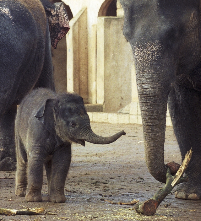 "<a href=""http://www.elephant.se/database2.php?elephant_id=759"">Tarak</a> born 2005 in Hannover Zoo. Photo © Petra Prager"