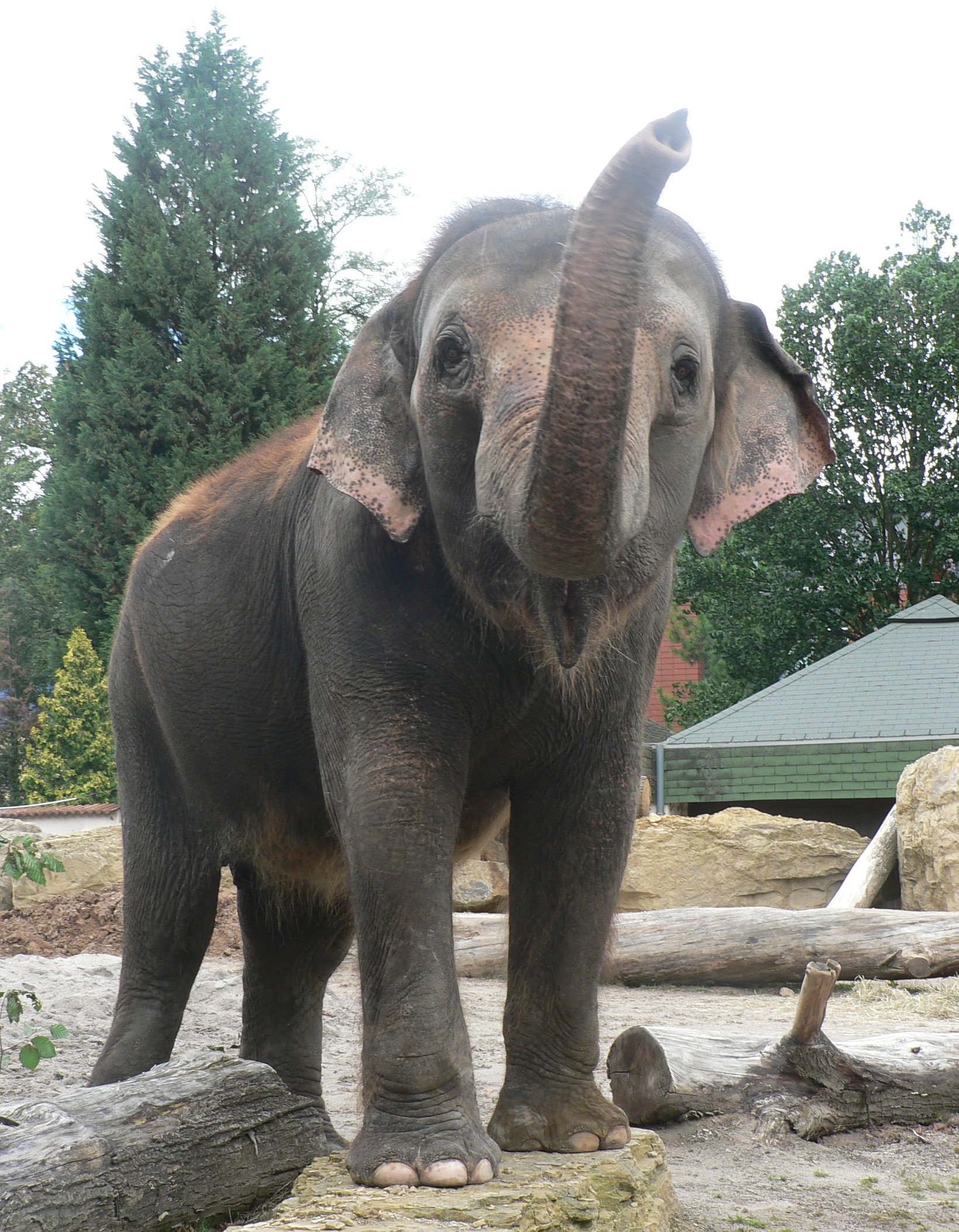 Female Asian elephant Ilona at Karlsruhe Zoo
