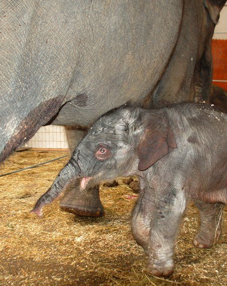 ABOVE: The tiny elephant was nearly trampled by her three-tonne mother
