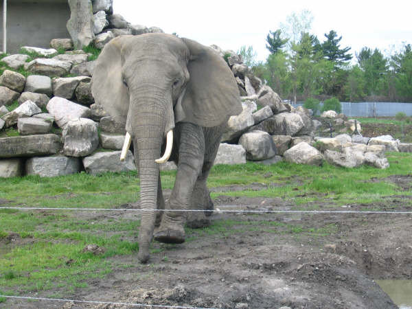 Female African Bush elephant Churchill (Babar) at Hemmingford Parc Safari