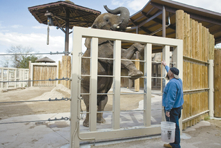 Christie, a 23-year-old pregnant African elephant from Zimbabwe, does exercises with elephant keeper Doug Tomkinson at Hogle Zoo in Salt Lake City