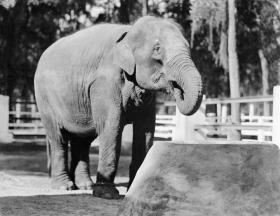 Female ♀ Asian elephant Miss Chic at Jacksonville Zoo and Gardens
