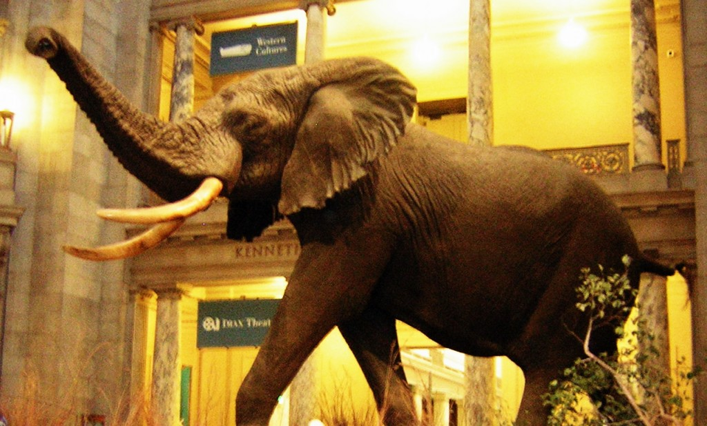 The worlds largest elephant preserved in the National History Museum, Washington, USA.