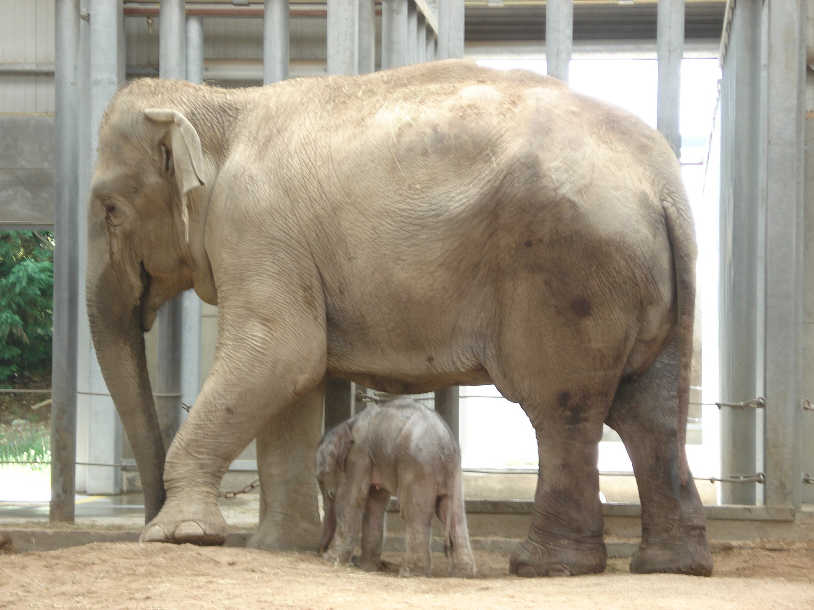 Female ♀ Asian elephant Jade at Dompierre Le Pal Zoo