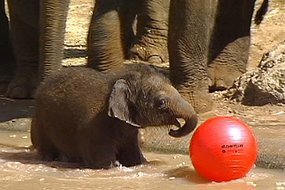 Zoo keepers say the as-yet unnamed baby elephant is a real character. (ABC TV)