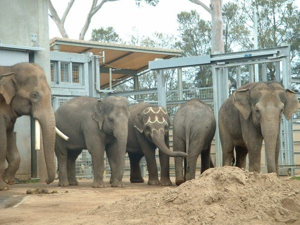 Bong Su, Dokkoon, Num Oi, Kulab and Mek Kapah. Melbourne Zoo 2008. Photo: © Molly Flora