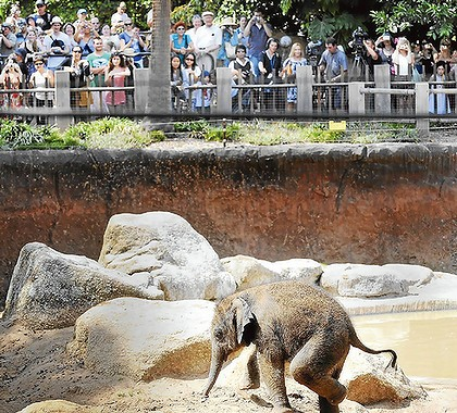 The public has its first view of the baby elephant. Photo: Penny Stephens