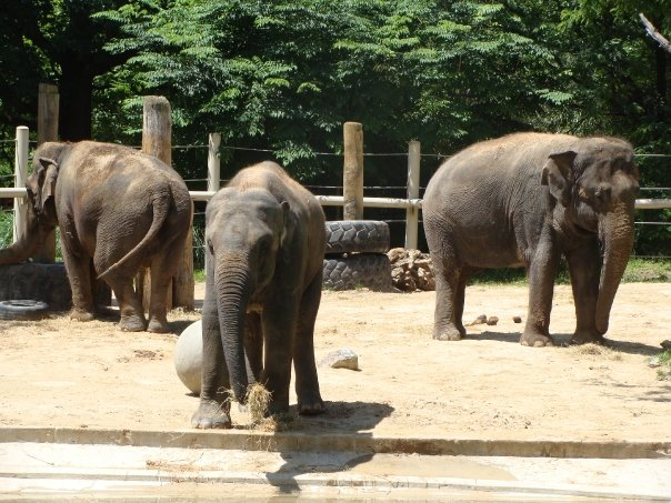 Ambika, Kandula & Shanthi. National Zoo 06/2009. Photo: © Ryan Easley