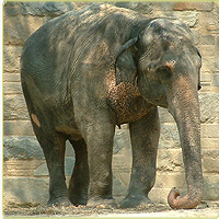 Female Asian elephant Toni at Smithsonian National Zoological Park