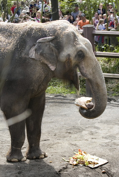 Packy tears into his birthday cake today at the Oregon Zoo