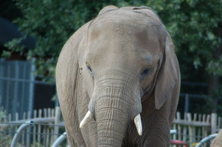 Female African Bush elephant Duna at Rhenen Zoo (Ouwehands Dierenpark Rhenen)