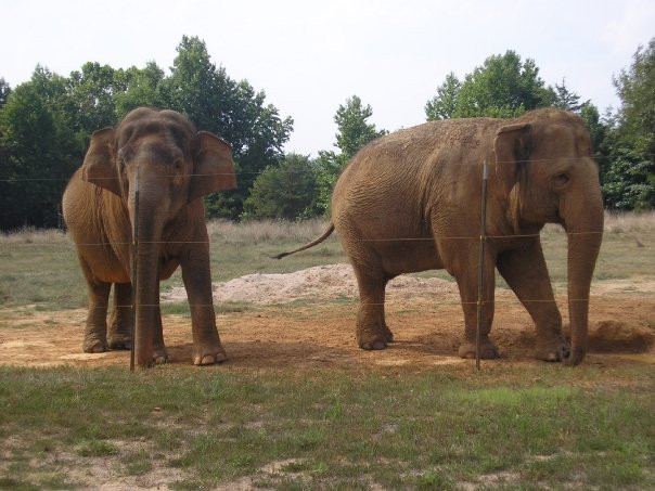 Peggy left, and Booper, the sanctuarys last living elephant.