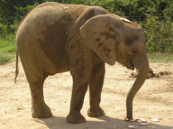 Female ♀ African Bush elephant Batir (Skeeter) at North Carolina Zoo