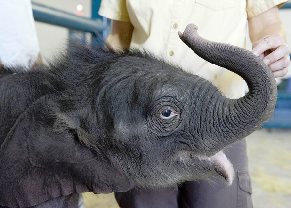 Asian elephant Barack is the first to be born as a result of artifical insemination at Ringling