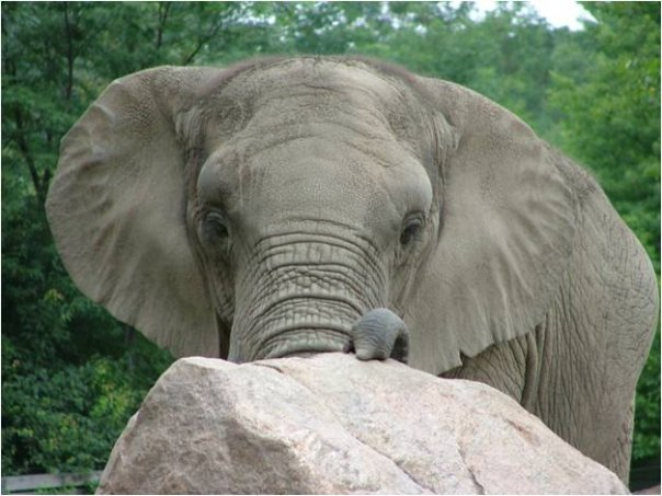 Female African Bush elephant Ginny at Roger Williams Park Zoo
