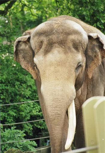 Male Asian elephant Alexander at Munster Zoo (Allwetterzoo Munster)