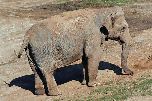 Female ♀ Asian elephant (Elephas maximus) Cookie at San Diego Zoo