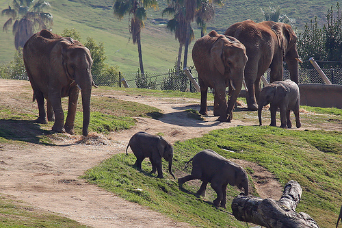 Letsemba (left), Phakamile, Impunga, Unngani, Khosi, and Mabhulane (back). San Diego Wild Animal Park 12/2007. Photo: © Amanda Pippin
