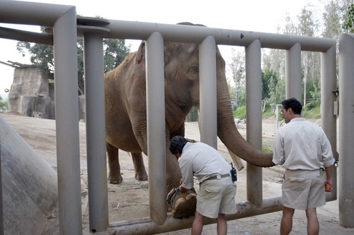 Lead elephant keeper Steve Hebert, left, and senior elephant keeper William Twardy, fit a chain to Ranchipur's foot as they acclimate him to the large steel crate in which he will be moved to the San Diego Zoo.