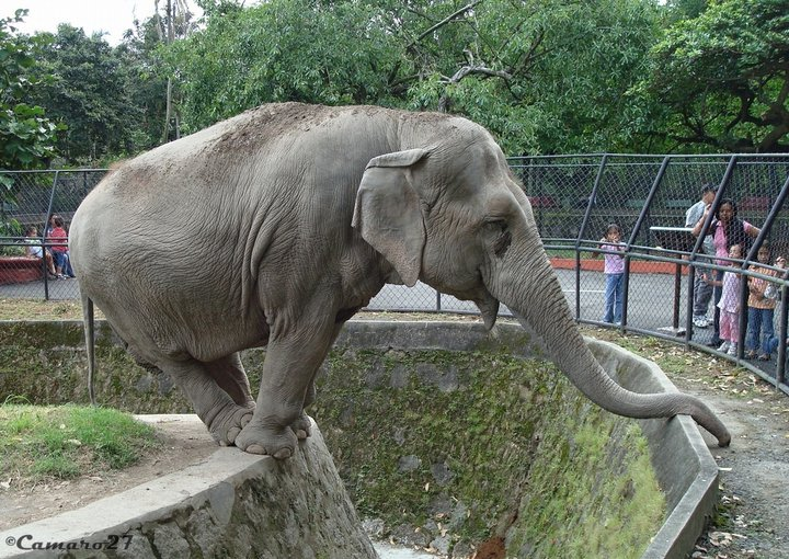 Female ♀ Asian elephant (Elephas maximus) Manyula at San Salvador Zoo (Parque Zoológico Nacional de San Salvador)