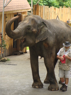 Female Asian elephant Dondi at Phil Schacht