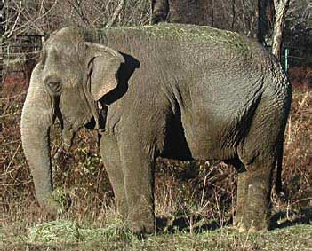 Female ♀ Asian elephant (Elephas maximus) Minnie (Packy II, Talli) at Tennessee Elephant Sanctuary (TES)