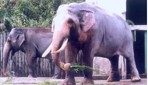 Grandpa Lin Wang, the world's oldest Asian elephant in captivity died in Taipei yesterday. He was 86.