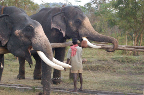 The twin bull elephants Sujay and Vijay in Theppakadu (captive-born 1971 in Top slip). Photo © Jackie Chiger