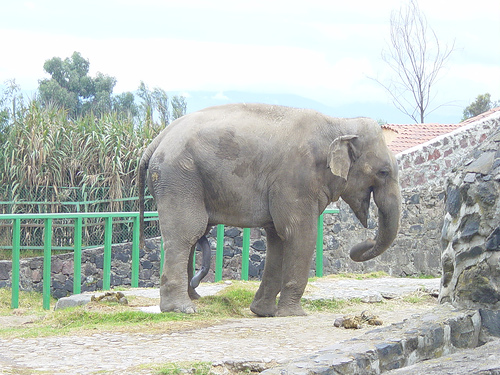 Male ♂ Asian elephant (<em>Elephas maximus</em>) Ramos at Africam Safari (Puebla Zoo)