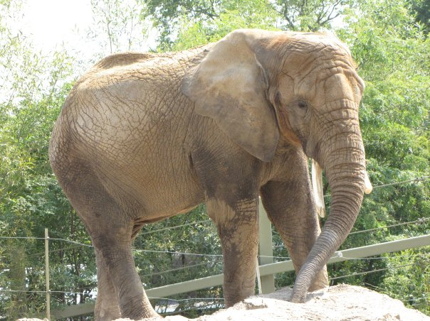Female ♀ African Bush elephant (Loxodonta africana) Toka at Performing Animal Welfare Society / ARK 2000 (PAWS)