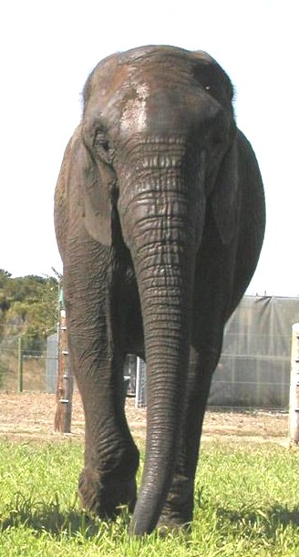 Male African Bush elephant Butch (Mickey) at EARS (Elephants of Africa Rescue Society)