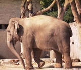 Female Asian elephant Chhukha (Chukkh) at Zurich Zoo